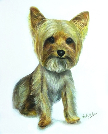 Yorkie-Colored Pencil